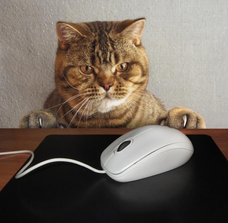 A cat and a computer mouse. A cat is watching a computer mause. Maybe he want to eat it royalty free stock photography
