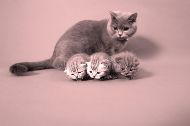 Cat watching her small baby. Cute British shorthair baby, newly born with her mother royalty free stock images
