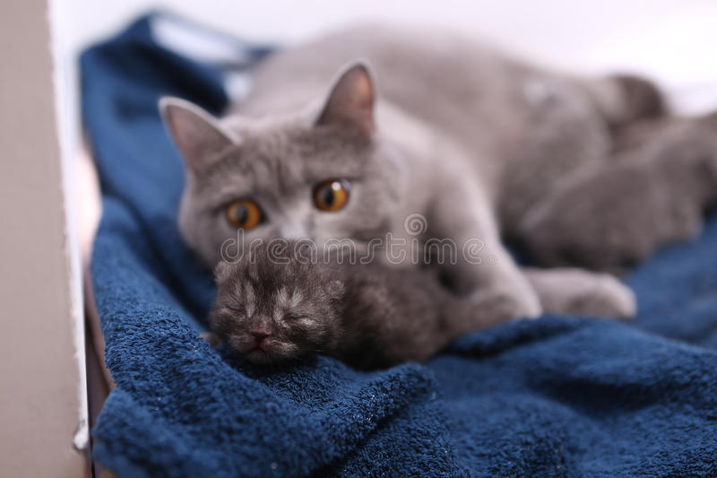 Cat watching her small baby. Cute British shorthair baby, newly born with her mother stock photo