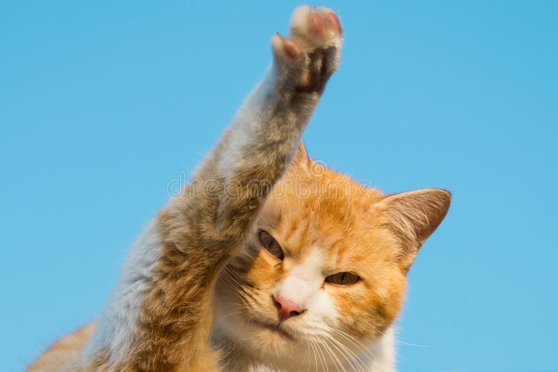 A cat looking at camera at raising its leg up in the air like waving. This is a cat waving at the camera with blue background sky royalty free stock image