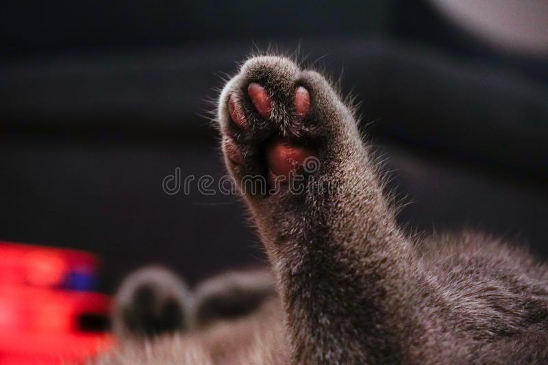 Cat waving paw close up view royalty free stock image