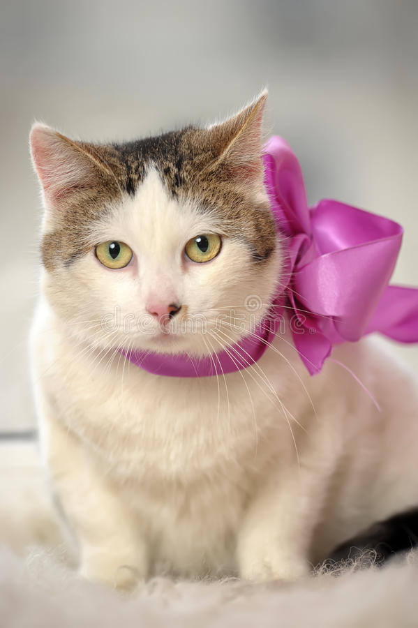 Cat wearing a bow royalty free stock photography