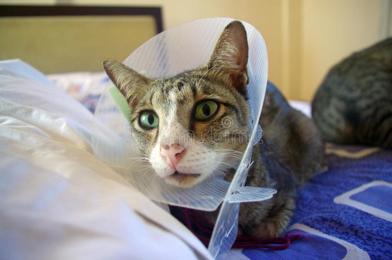 Cat wearing protective collar. Cat wearing protective buster collar, sitting on bed stock images