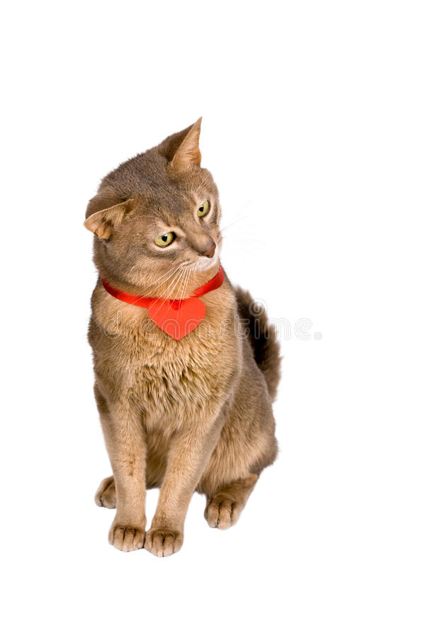 Download Cat wearing red heart stock photo. Image of celebrate - 16665384