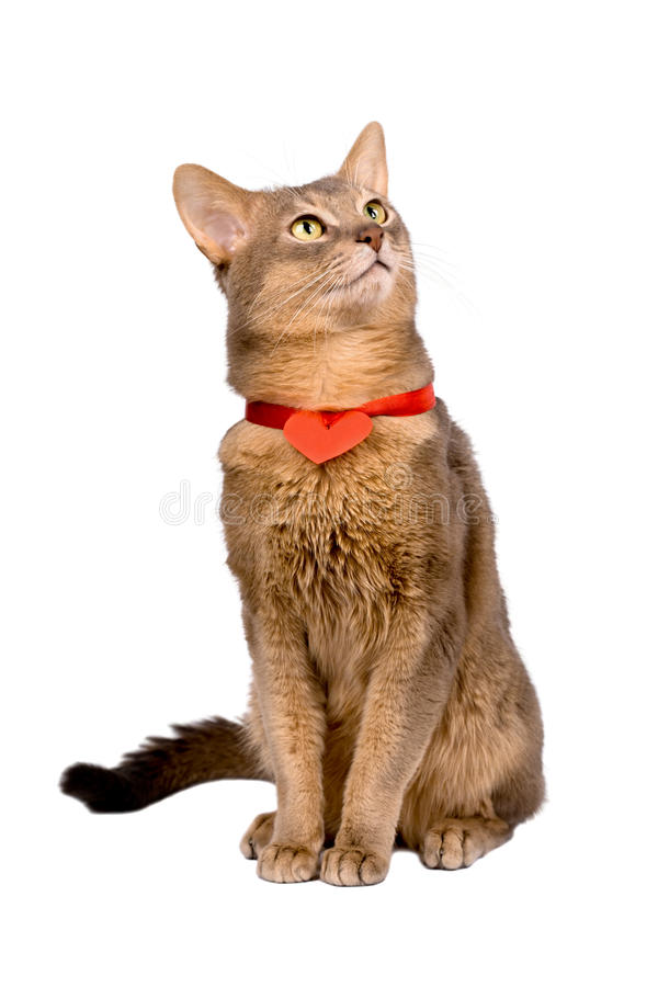 Cat wearing red heart stock photo