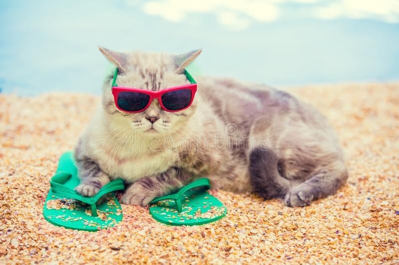 Cat wearing sunglasses lying on the beach. On flip flop sandals in summer stock photography