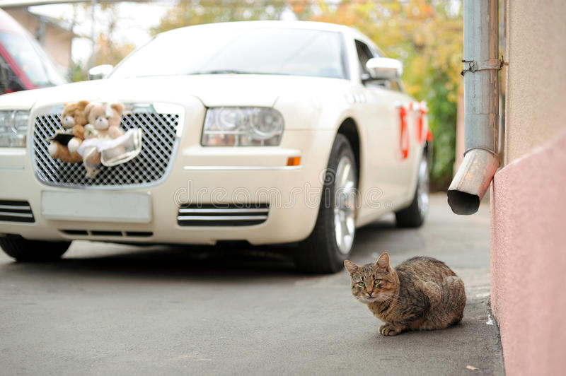 Download Cat and Wedding Car stock photo. Image of curiosity, looking - 30498180