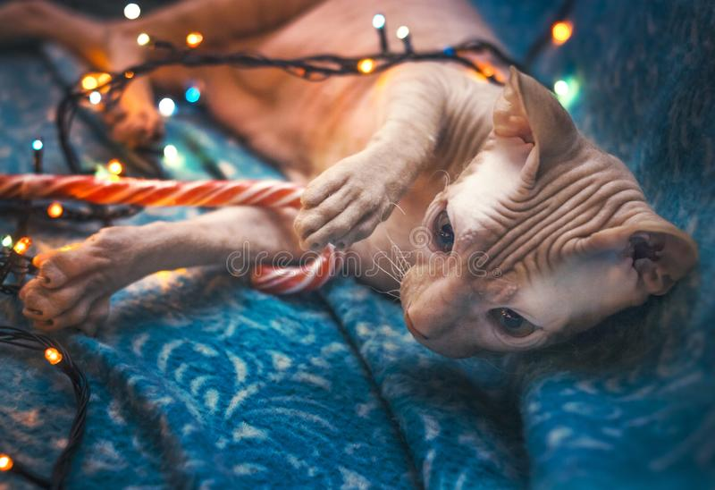 A cat welcomes the new year royalty free stock photo