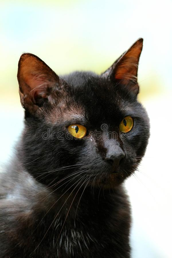 Cat, Whiskers, Black Cat, Mammal royalty free stock photo
