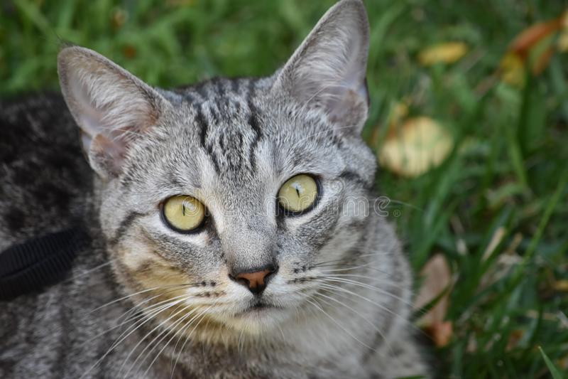 Cat, Whiskers, Dragon Li, Mammal stock image