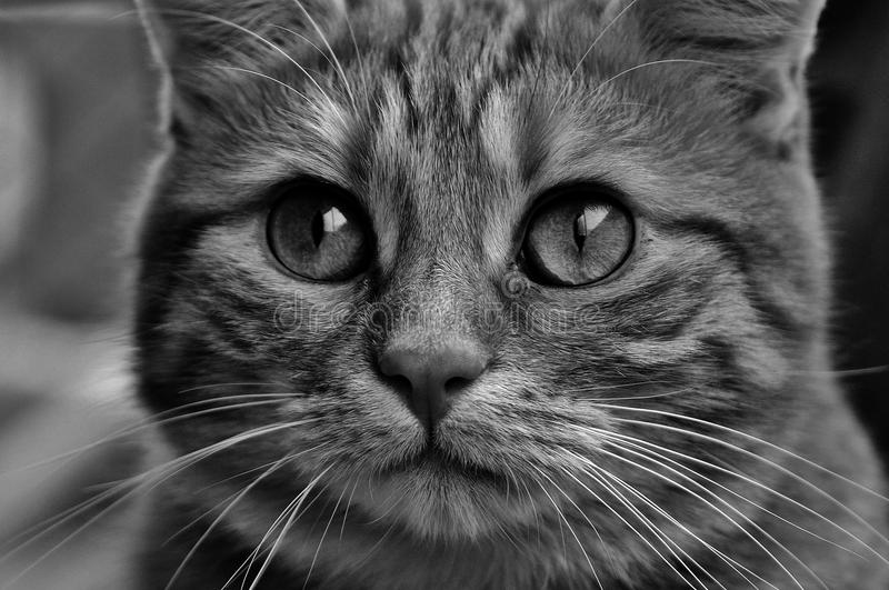 Cat, Whiskers, Face, Black And White royalty free stock photo