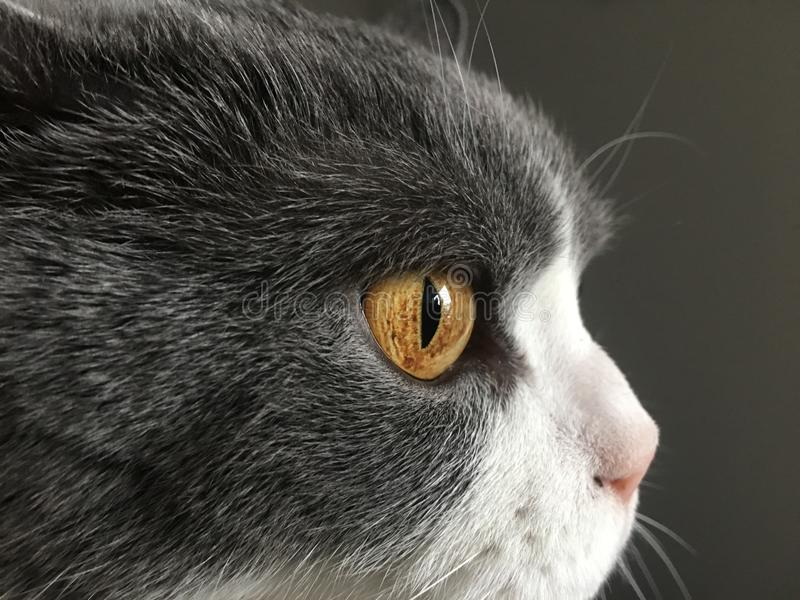 Cat, Whiskers, Face, Mammal royalty free stock image
