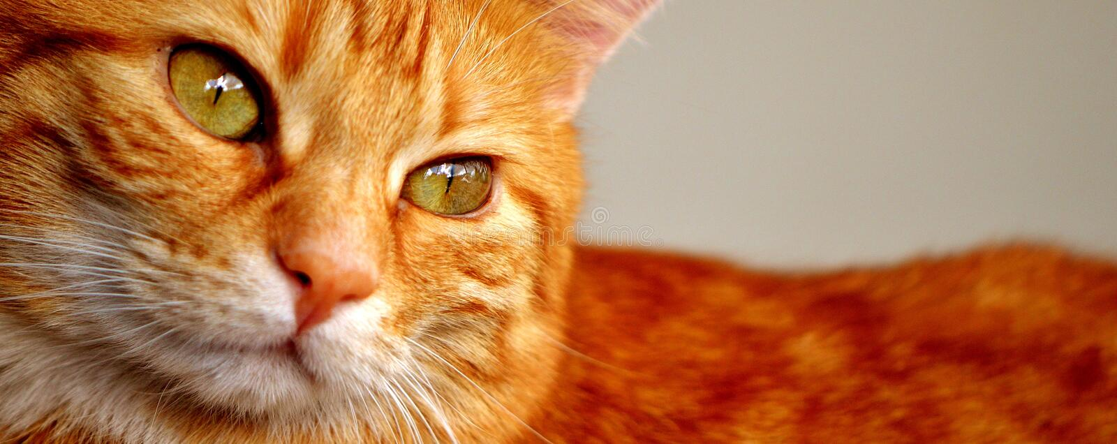 Cat, Whiskers, Face, Tabby Cat royalty free stock images
