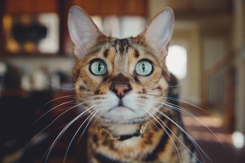 Cat, Whiskers, Small To Medium Sized Cats, Dragon Li stock photos