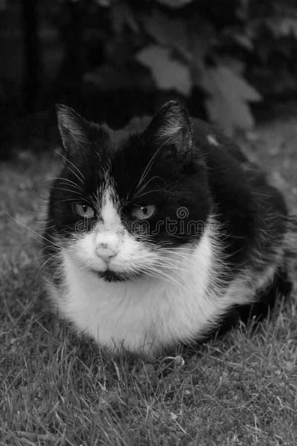 Cat, Whiskers, White, Black And White royalty free stock images