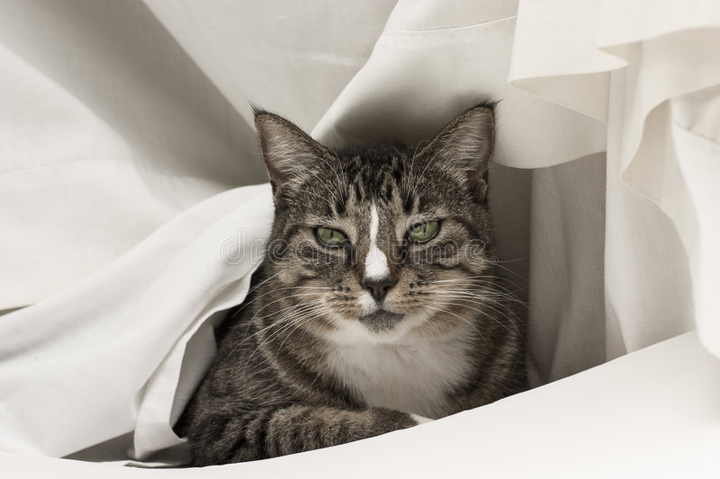 Download Cat In White stock image. Image of tabby, pose, domestic - 465159
