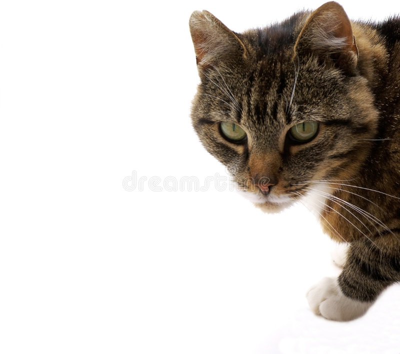 Cat on white. Cat isolated on a white background royalty free stock photos