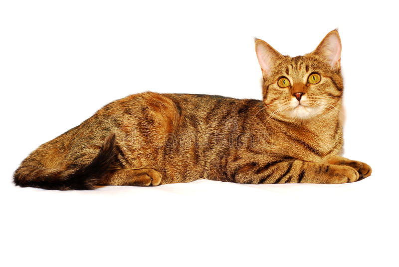 Cat on the white. Red cat is isolated on the white background stock image