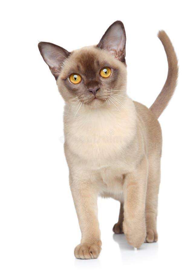 Cat on a white background. Burmese cat walking on a white background royalty free stock photos