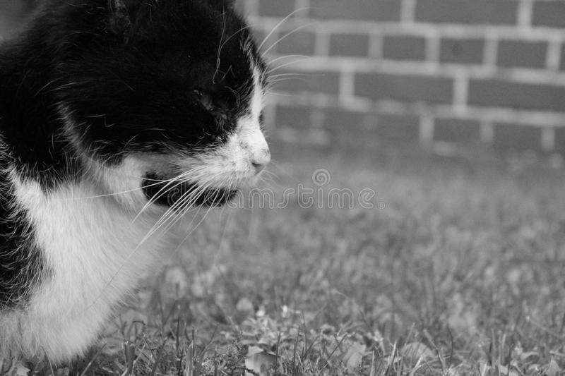 Cat, White, Black, Black And White royalty free stock photo