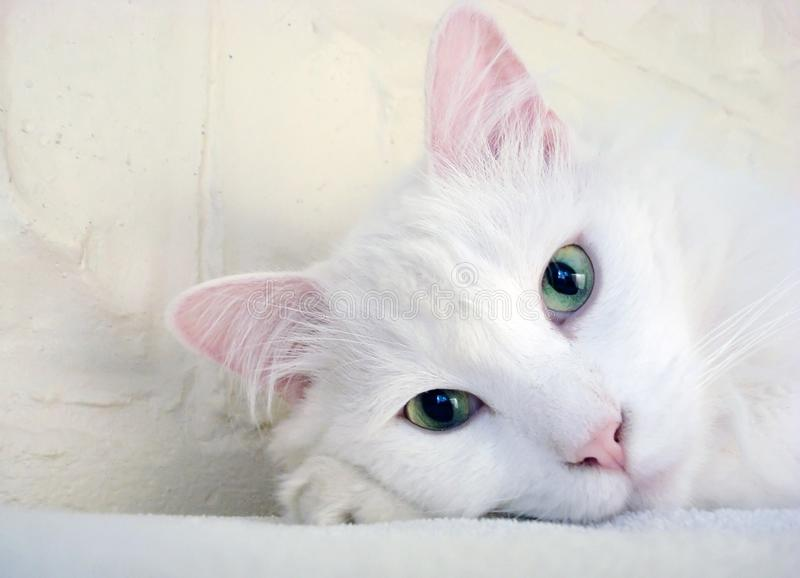 Cat, White, Face, Skin royalty free stock photography