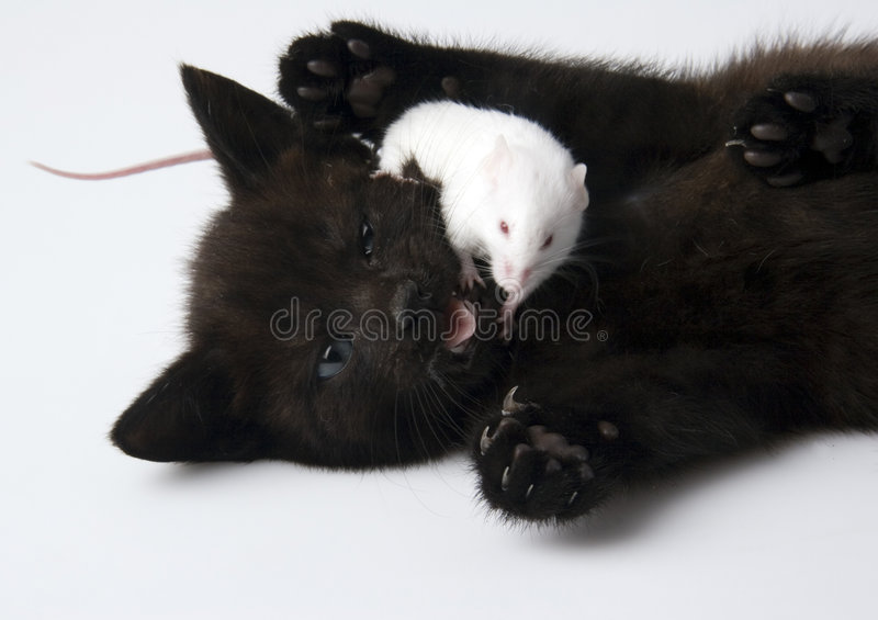 Cat & White mouse. Cat - the small furry animal with four legs and a tail; people often keep cats as pets royalty free stock image