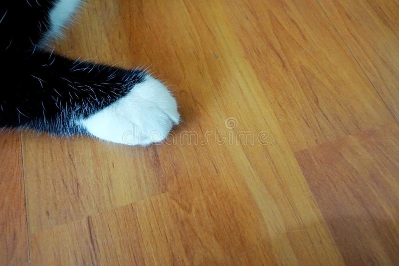 Cat white paw on the wood floor. royalty free stock images