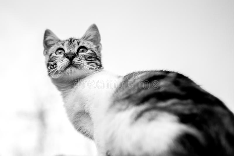 Cat, White, Whiskers, Black And White royalty free stock photo