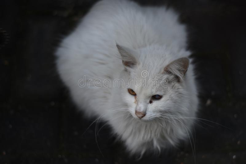 Cat, White, Whiskers, Mammal royalty free stock image