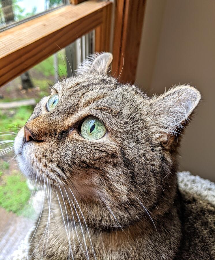 Cat In Window Looking Out royalty free stock images