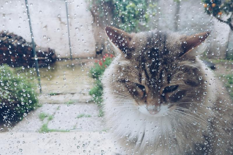 Cat at the Windows with rain drops royalty free stock photo