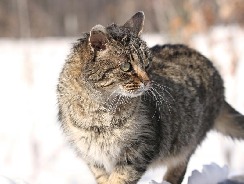 Cat during winter royalty free stock images