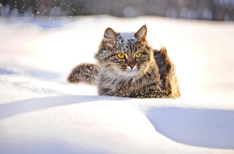 Cat in winter. Cat with big yellow eyes in winter stock photography