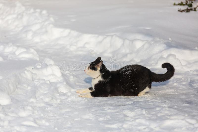 Cat in winter season. Cat out in the snow in winter season royalty free stock image
