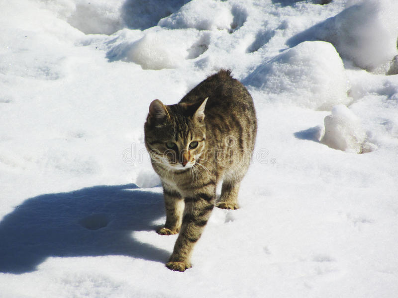 Cat winters. Cat walking on the snow in winter, not noticing people stock photo