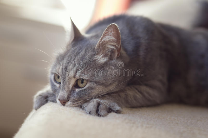 Cat in a woman`s lap. Furry tabby cat lying on its owner`s lap, enjoying being cuddled and purring. Selective focus royalty free stock photo