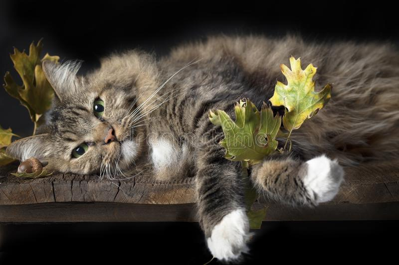 Cat on Wood Shelf with Fall Leaves. A brown striped cat with white paws and green eyes and content expression laying on wood shelf with fall leaves