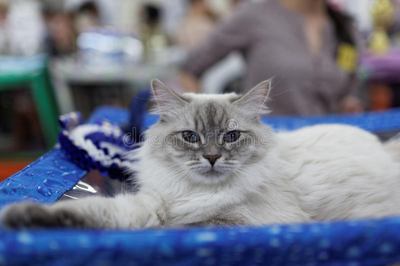 Cat during the World Cat Show. St. Petersburg, Russia - October 11, 2015: Cat resting near his award during World Catt Show in the mall Piterland. The show was stock images
