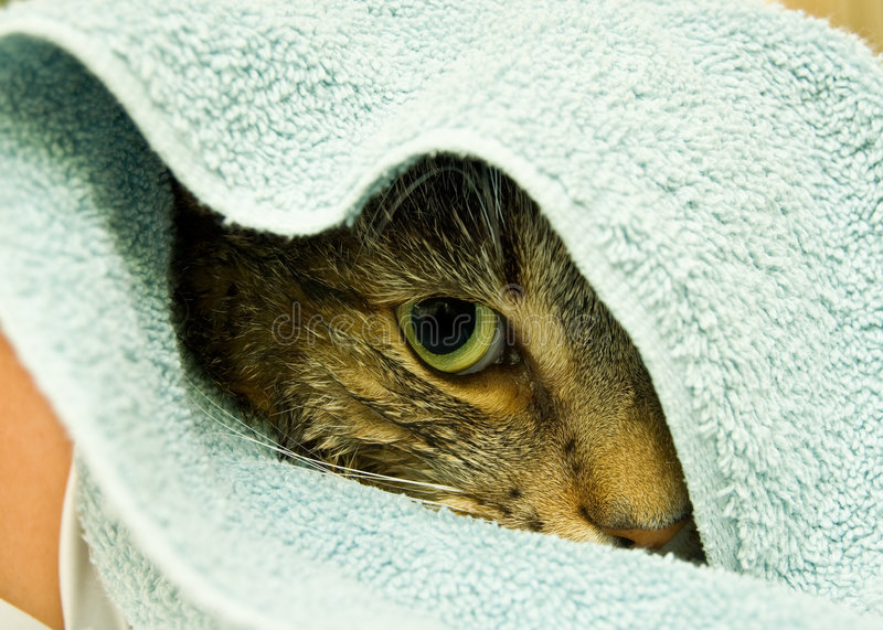 Cat wrapped in towel royalty free stock photography