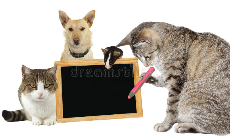 Cat writing on a blank blackboard. Intelligent tabby cat writing on a blank blackboard supported by its animal friends, a mouse, second kitty and jack russel stock image