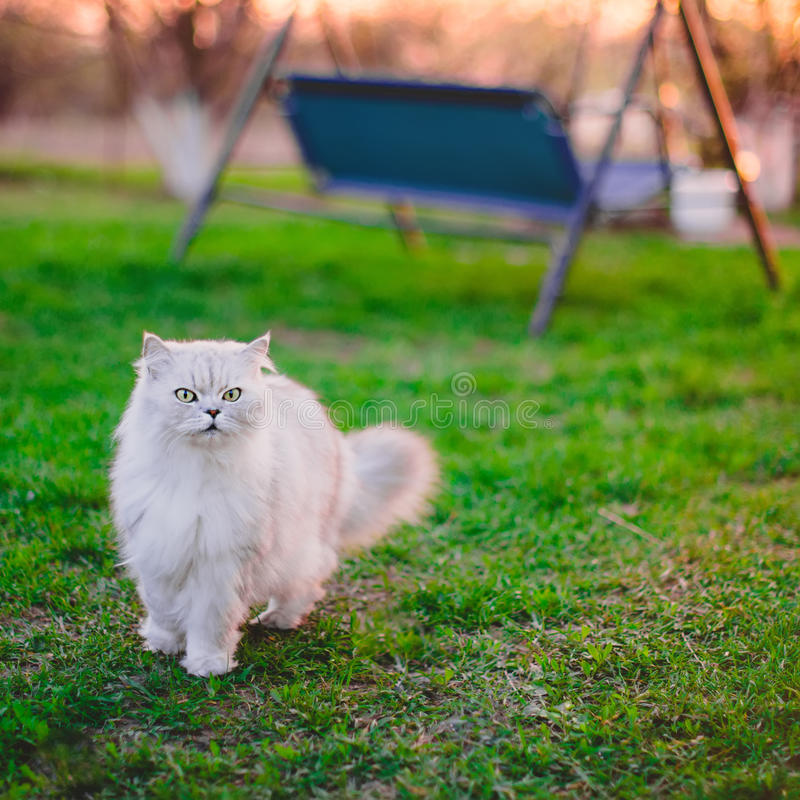 Cat on the yard. White cat on the green grass stock images