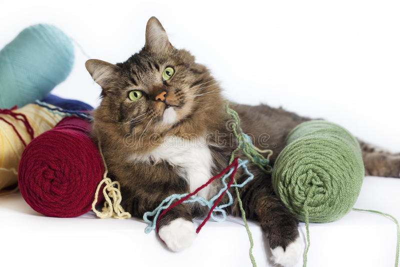 Cat with Yarn. A brown tabby cat with green eyes with colorful yarn tangled around feet, skeins of colorful yarn beside cat, background is white stock photography