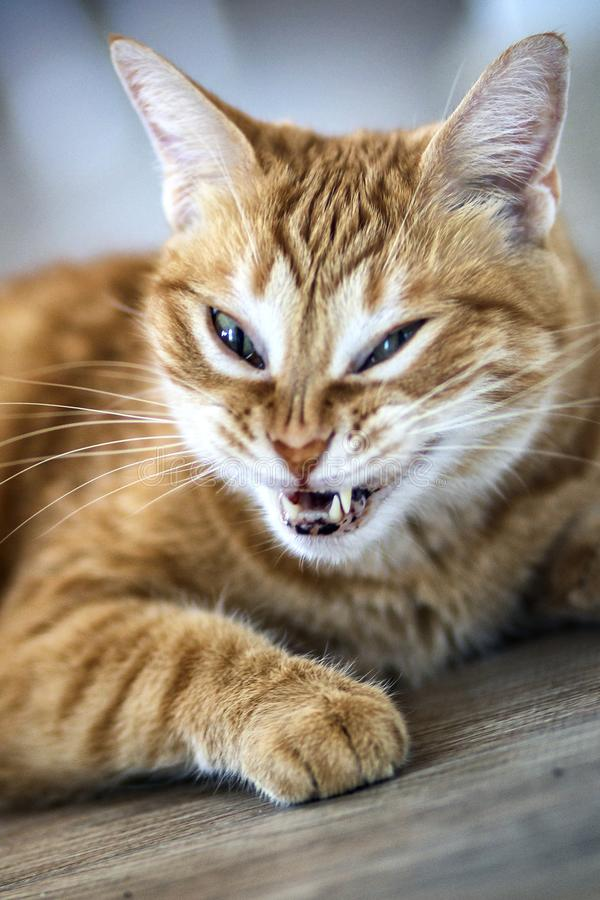 Cat yawning: detail of the mouth. A cat yawning: detail of the mouth stock photography