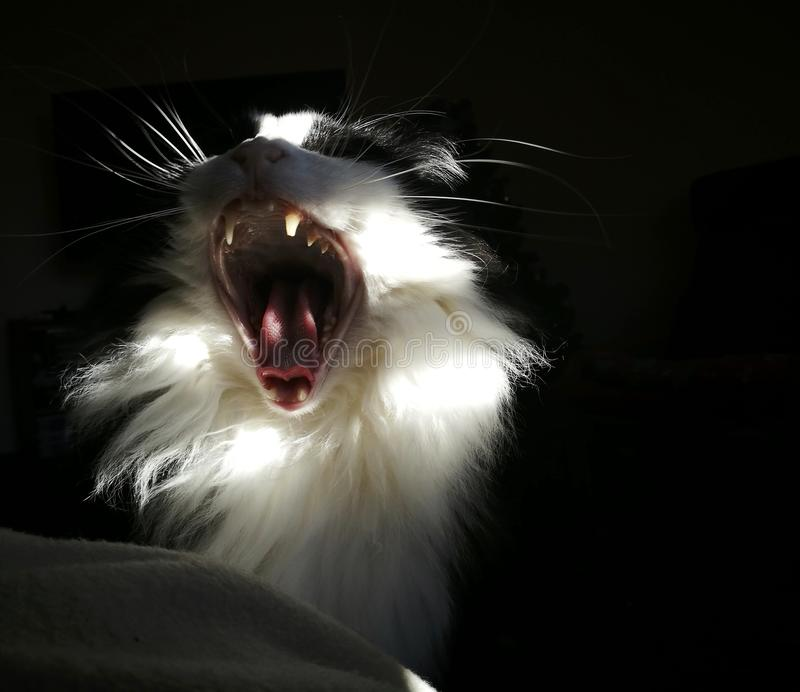 The cat is yawning, or is it roaring? stock photo