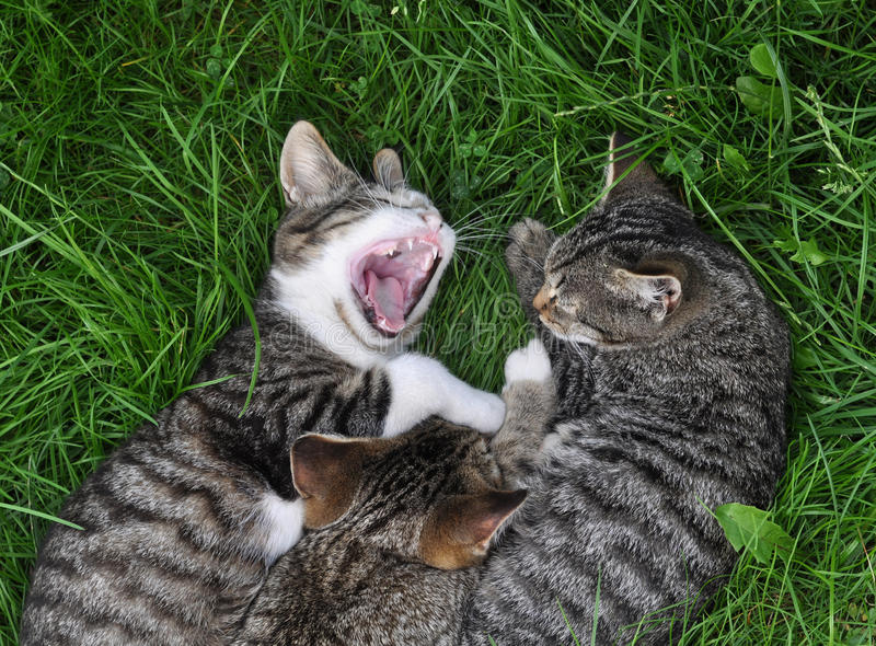 Cat yawns royalty free stock photography