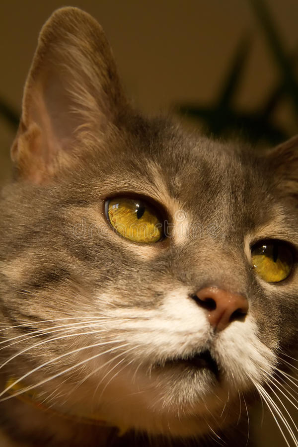 Download A cat with yellow eyes stock photo. Image of mysterious - 12960784