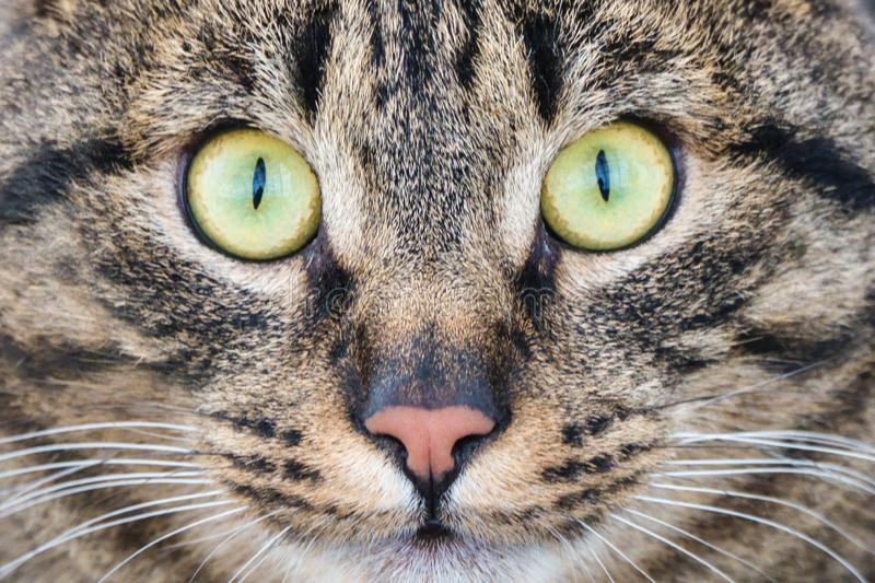 Cat with yellow eyes. On the snow royalty free stock image