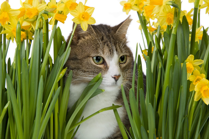 Cat in between yellow flowers. Cat with yellow flowers, isolated on a white background stock photography