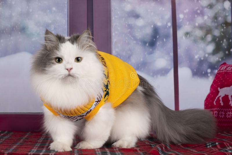 The cat in the yellow sweater looks out the window at the snow.  stock photo