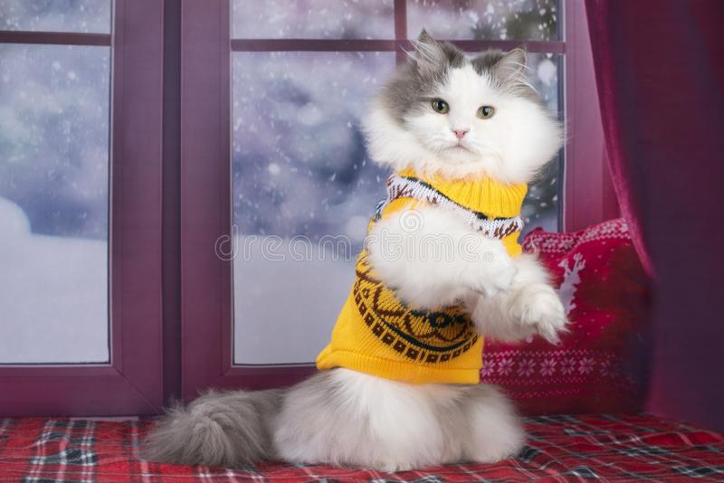 The cat in the yellow sweater looks out the window at the snow.  royalty free stock image